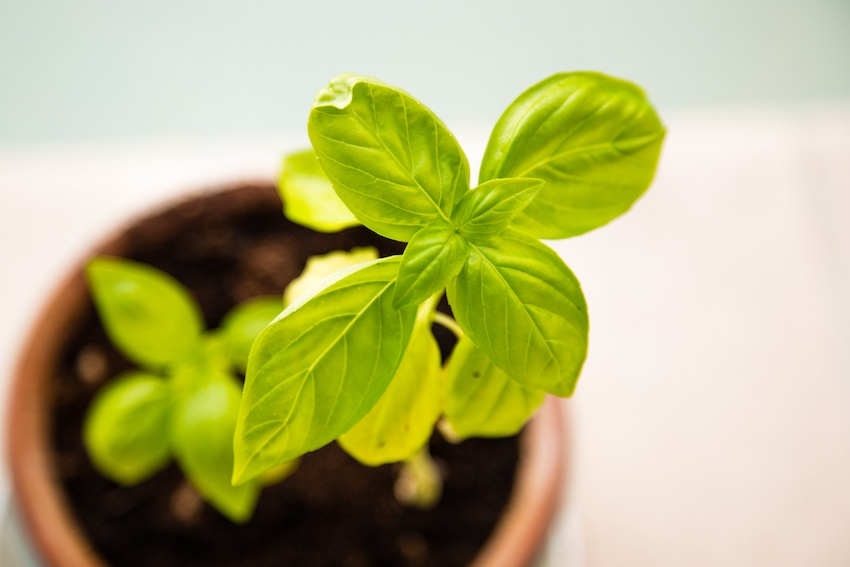 10 Things to do with Your Windowsill Herbs - Basil